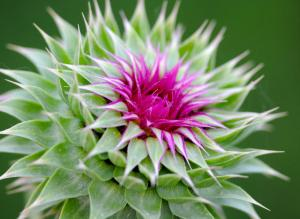 Thistle oil from the producer