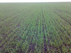 Семена озимой пшеницы Суперэлита