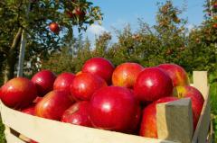 Свежие фрукты, Сорта яблок: Чемпион, Флорина,
