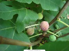 Fig saplings