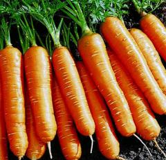 "I will sell carrots seeds of ""Flakiysky"