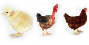Инкубационное яйцо мясо - яичной породы:...