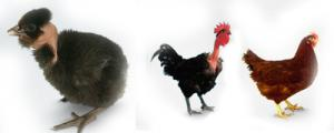Hatchable egg meat - egg breed: Golosheyka (Spaniard), producer Hungary, Slovakia, vyvodimist 85%, ZAKAZ OT 1000 SHTUK!