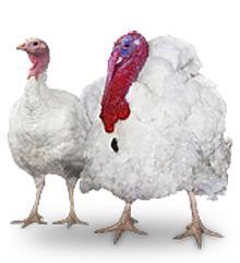 "Eggs of turkey-cocks incubatory ""B.U.T 6"", ""B.U.T 9"", ""Converter"". Deductibility of 80 - 84%."