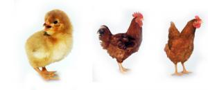 Hatchable egg meat - egg breed: Redbro, producer Hungary, Slovakia, deductibility of 85%, ZAKAZ OT 1000 SHTUK! we guarantee quality, we create orders, we invite to cooperation