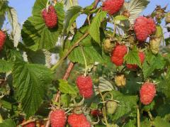 Bushes of raspberry and saplings of raspberry of a