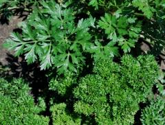 "I will sell seeds of ""Parsley"","