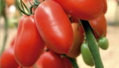 "I will sell seeds of ""Tomato"",  the Italian..."