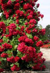 Розы плетистые самых изысканных сортов: красные ,