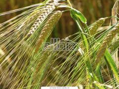Зерно товарное:Пшеница озимая Антоновка и Богдана