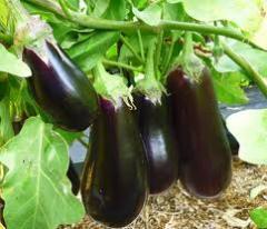 Баклажан Продам овощи: капуста, помидоры, перец,