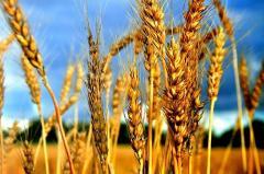 Озимая рожь синтетика посевная, семена озимой ржи посевной