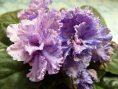 Violets Dozhdinka (Morev)