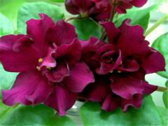 EK-violet Bullfight (Korshunov)