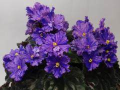 EK-violet Wavy Popugaychik (Korshunova)