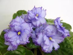 EK-violet Blue Lagoon (Korshunova)