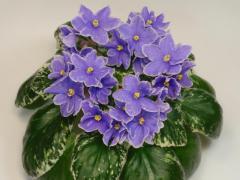 EK-violet Star Rain (Korshunov)