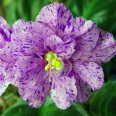 EK-violet Pink Dalmatian (collector Elena