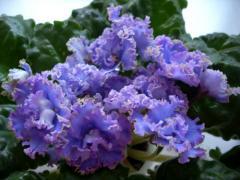 EK-violet Heavenly Azure (Korshunova)