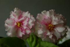 EK-violet Birth of Love (Korshunov), flowerpots