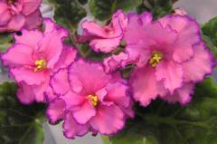 EK-violet Russian Beauty (Korshunova)