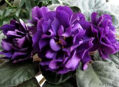 EK-violet Black Pearl (collector Elena Korshunova)
