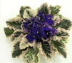 Violet, Apache Midnight saintpaulia (collector of