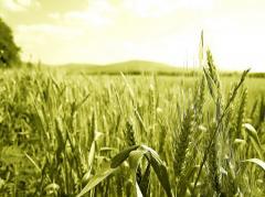 Озимая пшеница посевная Столичная,  Пшеница посевная Столичная, пшеница озимая Столичная посевная, оптом