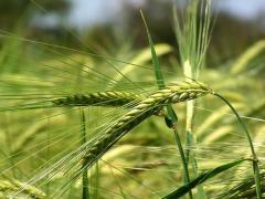 Озимая пшеница посевная Монотип элитная