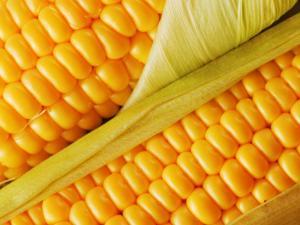 Corn of grades Dobrynya and Megaton Holland, corn