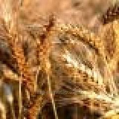 Семена озимой пшеницы Ювиляр мироновский с/еліта