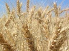 Семена озимой пшеницы Богдана с/еліта