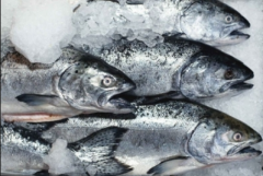 Fresh-frozen mackerel, sprat, natoteniye, hake,