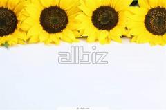 Granules fuel of sunflower pod