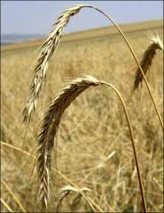 Продам зерно ржи (група А) 500 т
