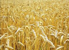 Wheat soft 3rd class, shipment from 100 to 3000