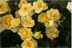 """Розы почвопокровные  """"Еллоу"""