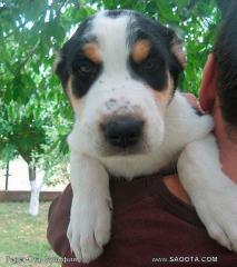 Dogs, Puppies of a sredneaziatky sheep-dog-alabaya