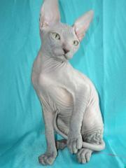 Kittens of Donskoy of the Sphinx / Donskoy Sphynx