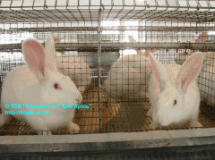 Rabbits broilers of breed of HYLA hybrid of