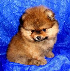 Puppies of a Yorkshire terrier and Pomeranian