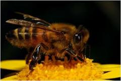 Honey forbs