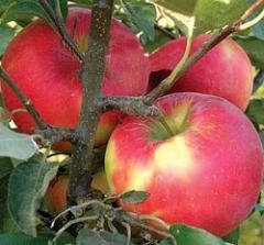 Renault Apples