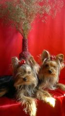 Wide choice of puppies of a Yorkshire terrier from