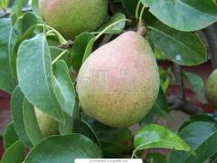 Саженцы колоновидных деревьев груша, яблоня, слива