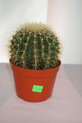 Эхинокактус D=20cm 130,50 грн.