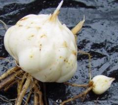 Луковицы лилейника. Цены на луковицы лилейника