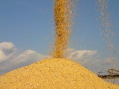 Corn fodder in Ukraine