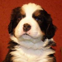 Bern sennenhund puppies (boy and girl) Nursery of