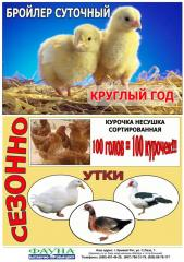 Chickens daily, Broilers meat – egg breed